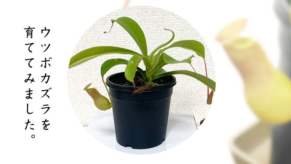 食虫植物『ウツボカズラ』を育ててみた 屋内観葉植物育成日記